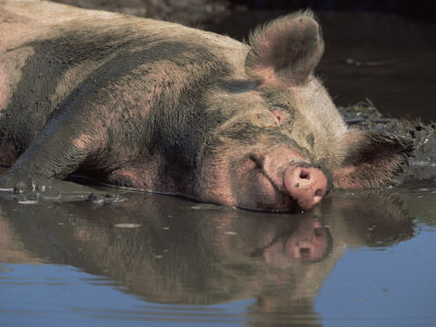 Picture of a pig wallowing in muck
